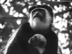 Colobus Monkey holding in its baby, Kiambethu tea farm, Kenya