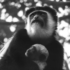 Colobus Monkey holding in its baby, Kiambethu tea farm, Kenya
