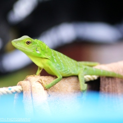 Green Crested Lizard on the research camp washing line