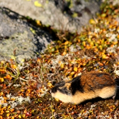 Norway Lemming, Hardangervidda, Norway
