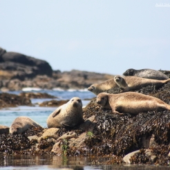Seal family on the cairns of Coll, Scotland