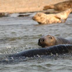 Seal spray, Blakeney point, UK