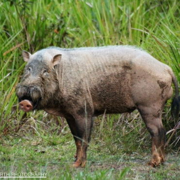 Malay Bearded Pig in the Maliau Basin
