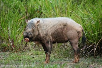 Malay Bearded Pig in the Maliau Basin