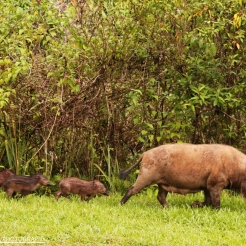 Malay Bearded Piglets in Danum Valley