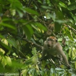 Howling Macaque, Danum Valley, Sabah, Malaysia