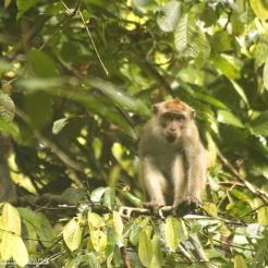 Morning Macaque, Danum Valley, Sabah, Malaysia