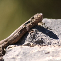 Tenerife Lizard (Gallotia galloti galloti)