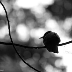 Nunbird on a vine, Pacaya-Samiria, Peru