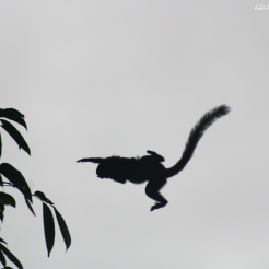 Saddleback Tamarin in the air, Pacaya-Samiria, Peru