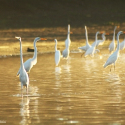 Egrets on the river bank at dawn. Pacaya-Samiria, Peru