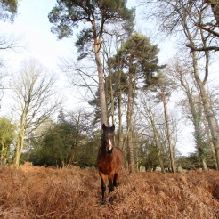 Curious Pony, New Forest National Park
